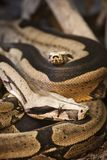 Blood python on the ground_vertical Royalty Free Stock Image
