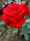 Blood red玫瑰 库存图片
