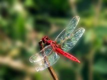 Blood red dragon fly Royalty Free Stock Photography
