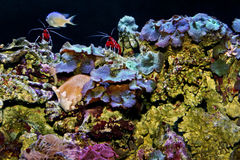 Blood Red Fire Shrimp and Mushroom Coral Royalty Free Stock Photos