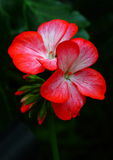 Blood Red Flowers Stock Photos