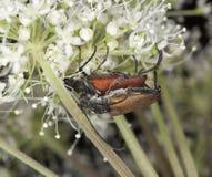 Blood-red longhorn beetle Stock Photos