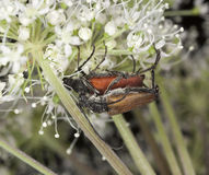 Blood-red longhorn beetle Royalty Free Stock Photo