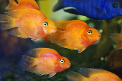 Blood Red Parrot Cichlid aquarium fish Stock Photography