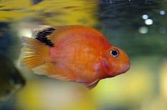 Blood Red Parrot Cichlid aquarium fish Royalty Free Stock Image