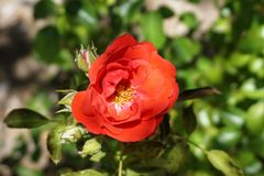 Blood Red Rose type flower royalty free stock photography