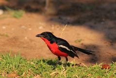 Blood Red - Shrike, Crimsonbreasted Royalty Free Stock Image