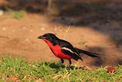 Blood Red - Shrike, Crimsonbreasted Royalty Free Stock Image
