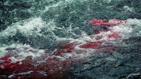 Blood In River Rapids. Blood flows into river rapids from something dead or injured stock video footage