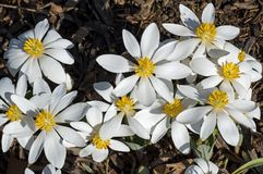 Blood Root blooming in the early morning sun Royalty Free Stock Image