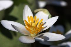 Blood-root Flower Stock Image