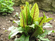 Blood sorrel, Rumex sanguineus Stock Image