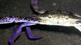Blood-spotted swimming crab Lembeh strait Indonesia stock video footage