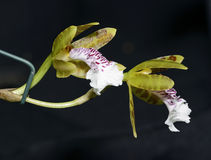 Blood-Stained Helcia Orchid Stock Photos