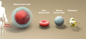 Free Blood Stem Cell Is An Immature Cell That Can Develop Into All Types Of Blood Cells: White Blood Cells, Red Blood Cells, Platelets Stock Image - 159593741