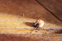 Blood Sucking and Disease transmitting Wooden Tick. On table Stock Photography