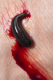 Blood sucking leech Royalty Free Stock Images