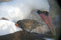 Blood sucking Vampire Finch with Nazca Booby, Wolf Island, Galapagos stock photography