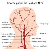 Blood supply of the head and neck. Arteries of the head and neck, eps8 Royalty Free Stock Photography