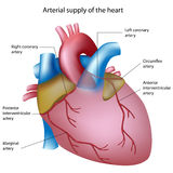 Blood supply to the heart. Heart anatomy showing coronary arteries, sites of heart attack, eps8 Stock Photography