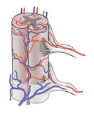 Blood supply to spinal cord Royalty Free Stock Photography
