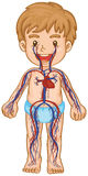 Blood system in boy body Stock Image
