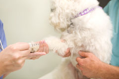 Blood Test Dog Royalty Free Stock Photos