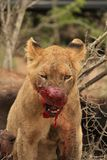 Blood Thirsty Lion Cub. Royalty Free Stock Images