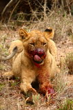 Blood Thirsty Lion Cub. Stock Photos