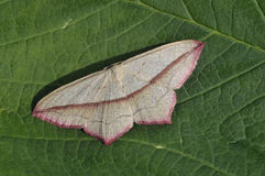 Blood-vein Moth Royalty Free Stock Image