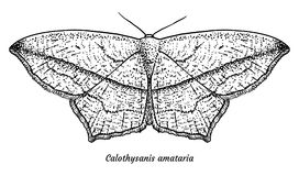 Blood-vein moth illustration, drawing, engraving, ink, line art, vector. Illustration, what made by ink and pencil, then it was digitalized Stock Photo