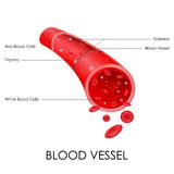 Blood Vessel. Vector illustration of diagram of blood vessel Royalty Free Stock Photography