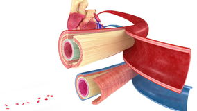 Blood vessel stock video