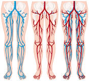 Blood vessels in human legs. Illustration Royalty Free Stock Images