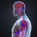 Blood Vessels and Lymph Nodes with Body Lateral view. Lymph travels around the body through a network of vessels in much the same way that blood travels around Royalty Free Stock Photography