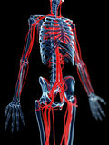 Blood vessels and skeleton Royalty Free Stock Photos