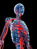 Blood vessels and skeleton Stock Photo