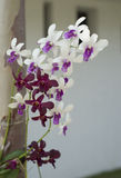 Blood and white orchid in health spa. Royalty Free Stock Photo