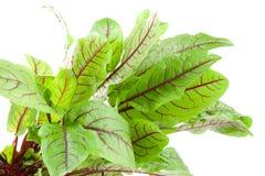 Blood wort plant. Bloodwort, rumex sanguineus on white background Stock Photos