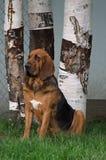 Bloodhound Аляски гончих границы Стоковые Изображения