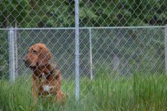Bloodhound Аляски гончих границы Стоковое фото RF