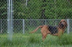 Bloodhound Аляски гончих границы Стоковые Изображения RF