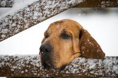 Bloodhound смотря через строб Стоковые Изображения