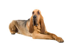 Bloodhound. A bloodhound dog lying down Royalty Free Stock Photography