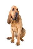 Bloodhound. Studio portrait of a bloodhound isolated on a white background Stock Photography