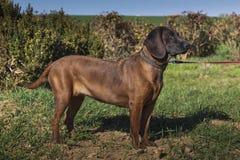 Bloodhound obrazy royalty free