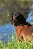 bloodhound stock fotografie