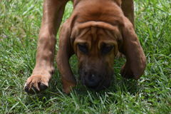 Bloodhound Royalty Free Stock Photo