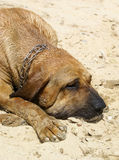 Bloodhound dog. On the beach Royalty Free Stock Photos