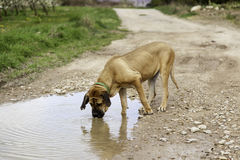 Bloodhound dog drinking water. Dog hound drinking water in river pond, animals and nature Stock Photos